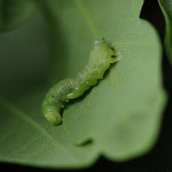 rupsje met larven sluipwesp