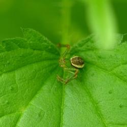 groene krabspin