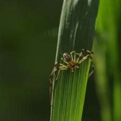 groene krabspin man