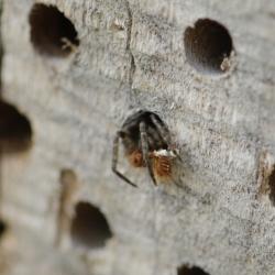 muurzesoog met spekkeverlarve