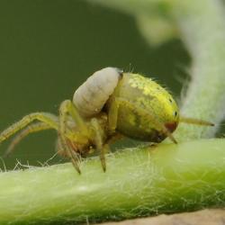 komkommerspin met larve sluipwesp