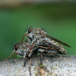 Gewone roofvliegen parend