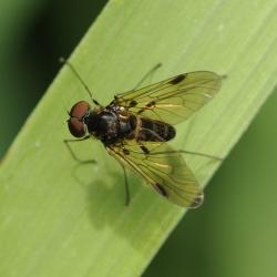 Snipvlieg Chrysopilus cristatus man