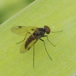 Snipvlieg - Chrysopilus cristatus