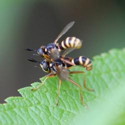 blaaskopvliegen