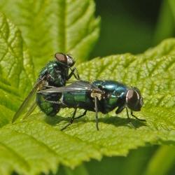 blauwe vleesvliegen