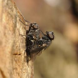 gewone huisvliegen