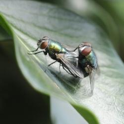 groene vleesvliegen