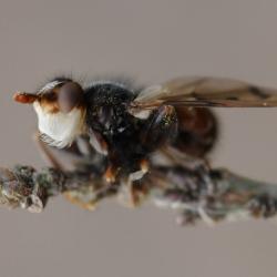 roestbruine kromlijfvlieg