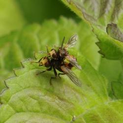 roestbruine kromlijfvliegen
