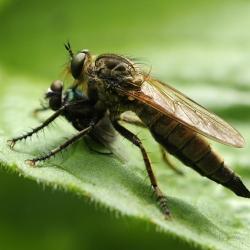 roodbaardroofvlieg