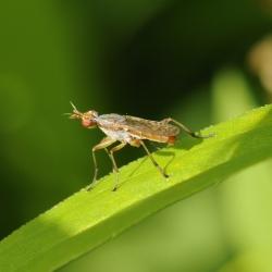 slakkenvlieg Dichetophora obliterata