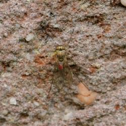 slankpootvlieg mogelijk Liancalus virens met een passagier (mijt)