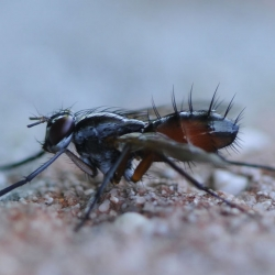 sluipvlieg cylindromyia spec