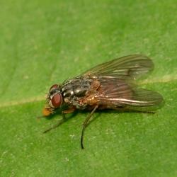vermoedelijk herfstvlieg - Musca autumnalis