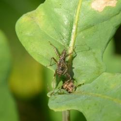 Himacerus apterus - Boomsikkelwants
