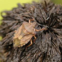 Carpocoris spec
