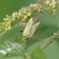 Vierpuntsierblindwants - Adelphocoris quadripunctatus