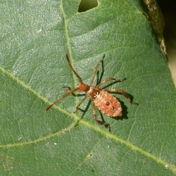 Leptoglossus occidentalis - Bladpootrandwants nimf