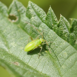 Blindwants spec. - Miridae nimf