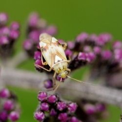 Blindwants spec. - Miridae