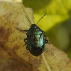 blue bug zicrona caerula