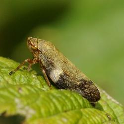cicade Aphrophora alni