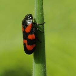 bloedcicade - Cercopis vulnerata