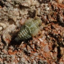 cicade issus coleoptratus nimf