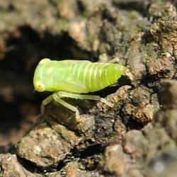 cicade onbekend