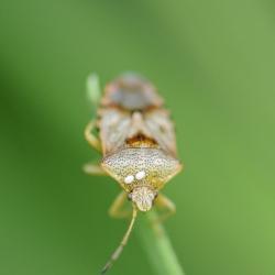 gewone broedwants - Elasmucha grisea