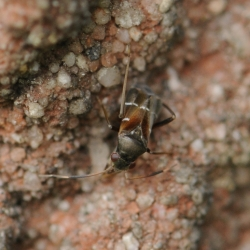gewone mierwants - Pilophorus perplexus
