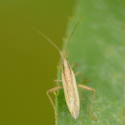 stenodema calcarata