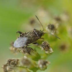 grijze brilknotswants Stictopleurus punctatonervosus