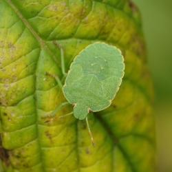 11 groene stinkwants nimf