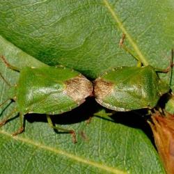 groene stinkwantsen paring
