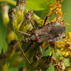 miersikkelwants Himacerus mirmicoides