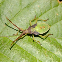 smalle randwants gonocerus acuteangulatus nimf