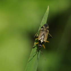 voorjaarseikenblindwants mannetje  Harpocera thoracica