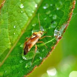 weidewants of weideschaduwwants -Lygus pratensis