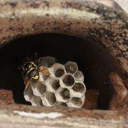 franse veldwesp wespennest