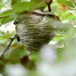 wesp onbekend wespennest