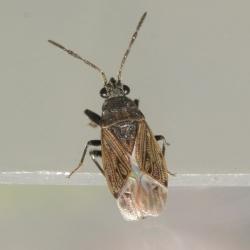 vermoedelijk Peritrechus nubilus
