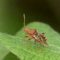 geblokte knotswants (Rhopalus subrufus)