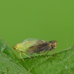 cicades Oncopsis spec