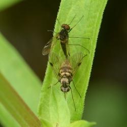 snipvliegen