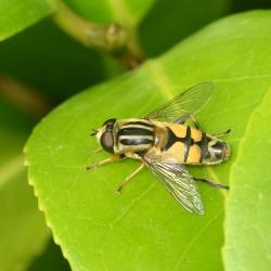citroenpendelzweefvlieg