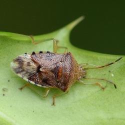 Gewone kielwants (Elasmucha grisea)
