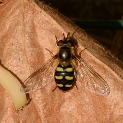 vrouwtje grote kommazweefvlieg
