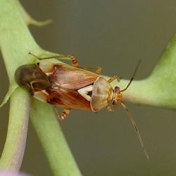 weidewants of weideschaduwwants (Lygus pratensis)